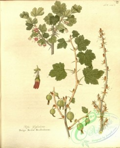 tree_branches-00353 - ribes grossularia