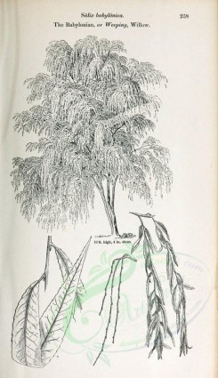 trees-00014 - Babylonian or Weeping Willow (black-and-white) [2423x4197]