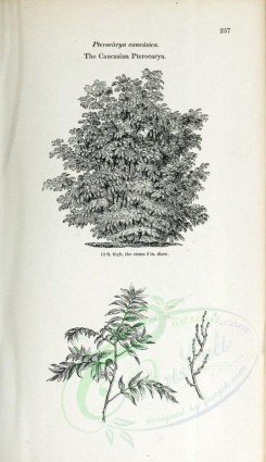 trees-00028 - Caucasian Pterocarya (black-and-white) [2423x4197]