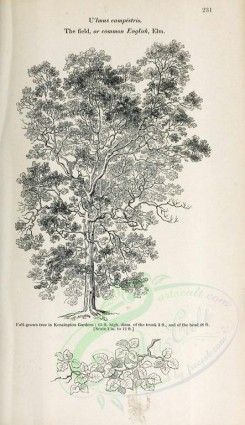 trees-00043 - Field or Common English Elm, 2 (black-and-white) [2423x4197]