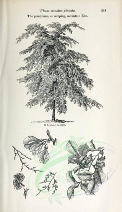 trees-00065 - Pendulous or weeping mountain Elm (black-and-white) [2423x4197]
