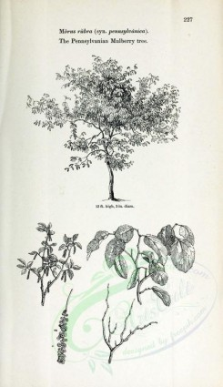 trees-00068 - Pennsylvanian Mulberry (black-and-white) [2423x4197]