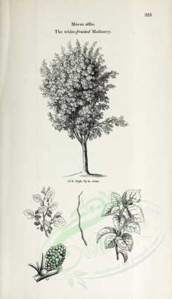 trees-00094 - White-fruited Mulberry (black-and-white) [2423x4197]