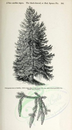 trees-00110 - Black-leaved or Red Spruce Fir (black-and-white) [2348x4202]