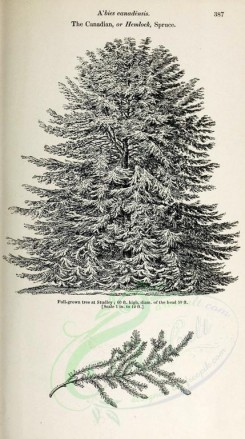 trees-00113 - Canadian or Hemlock Spruce (black-and-white) [2348x4202]