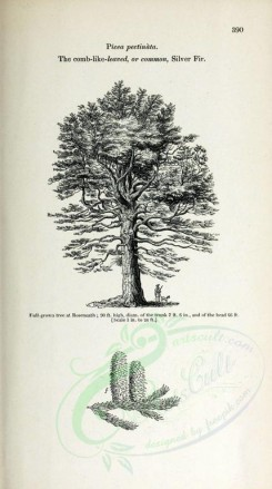 trees-00122 - Comb-like-leaved Silver Fir, 2 (black-and-white) [2348x4202]