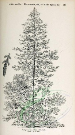 trees-00127 - Common tall or White Spruce Fir (black-and-white) [2348x4202]