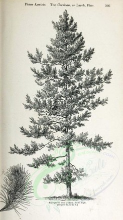 trees-00134 - Corsican or Larch Pine, 2 (black-and-white) [2348x4202]