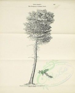trees-00141 - European or Common Larch, 2 (black-and-white) [2530x3138]