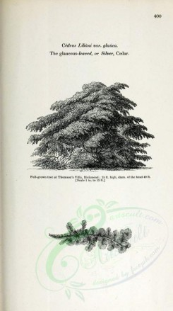 trees-00144 - Glaucous-leaved or Silver Cedar (black-and-white) [2348x4202]