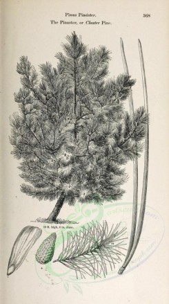 trees-00166 - Pinaster or Cluster Pine, 2 (black-and-white) [2348x4202]
