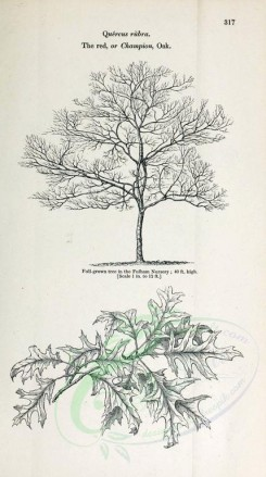 trees-00173 - Red or Champion Oak (black-and-white) [2348x4202]