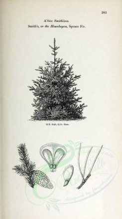 trees-00179 - Smith's or Himalayan Spruce Fir (black-and-white) [2348x4202]