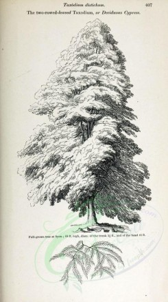 trees-00191 - Two-rowed-leaved Taxodium or Deciduous Cypress, 2 (black-and-white) [2348x4202]