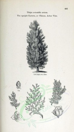 trees-00193 - Upright Eastern or Chinese Arbor Vitae (black-and-white) [2348x4202]