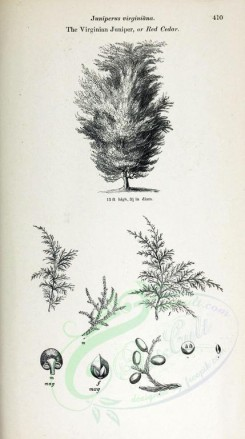trees-00195 - Virginian Juniper or Red Cedar (black-and-white) [2348x4202]