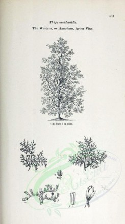 trees-00198 - Western or American Arbor Vitae (black-and-white) [2348x4202]