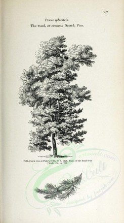 trees-00203 - Wood or Common Scotch Pine, 2 (black-and-white) [2348x4202]
