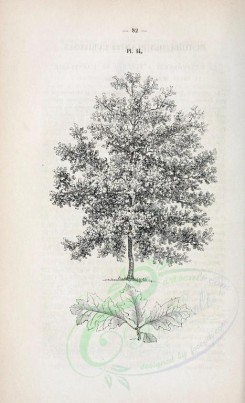 trees-00213 - unidentified, 1 (black-and-white) [2145x3523]