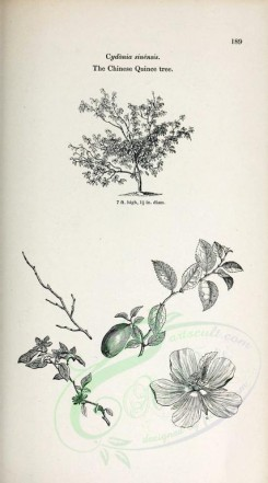 trees-00249 - Chinese Quince tree (black-and-white) [2370x4261]