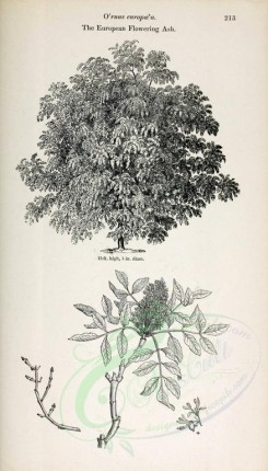trees-00269 - European Flowering Ash (black-and-white) [2435x4261]