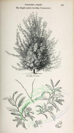 trees-00277 - Frigid native locality Cotoneaster (black-and-white) [2370x4261]