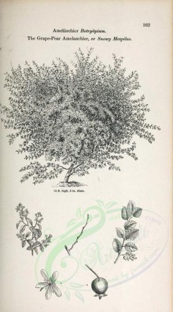 trees-00284 - Grape-Pear Amelanchier or Snowy Mespilus (black-and-white) [2370x4261]