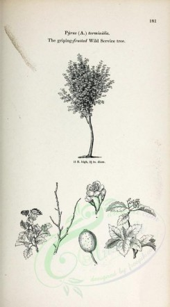 trees-00286 - Griping-fruited Wild Service tree (black-and-white) [2370x4261]