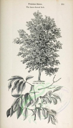 trees-00289 - Lance-leaved Ash (black-and-white) [2435x4261]
