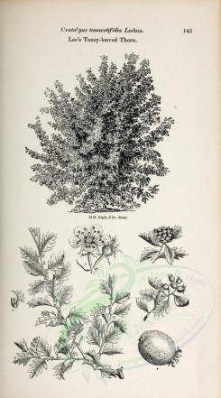 trees-00291 - Lee's Tansy-leaved Thorn (black-and-white) [2370x4261]