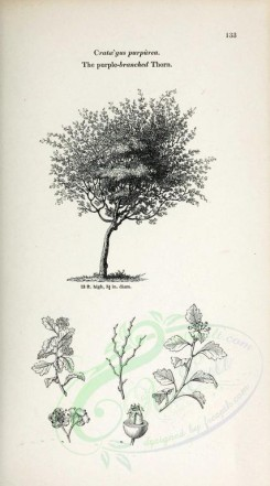 trees-00316 - Purple-branched Thorn (black-and-white) [2370x4261]