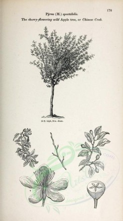 trees-00323 - Showy-flowering wild Apple tree or Chinese Crab (black-and-white) [2370x4261]