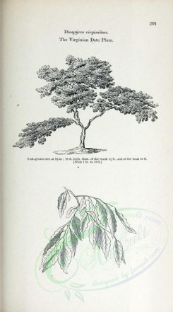 trees-00340 - Virginian Date Plum, 2 (black-and-white) [2370x4261]