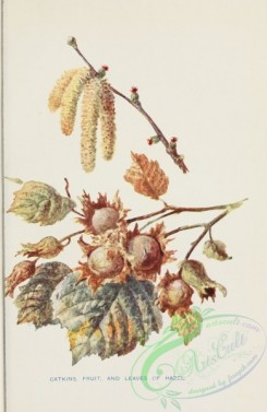 trees-00788 - Hazel Catkins fruit and leaves [1774x2723]