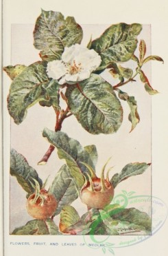 trees-00794 - Medlar flowers fruit and leaves [1678x2545]