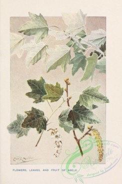 trees-00810 - Abele flowers leaves and fruit [1745x2618]