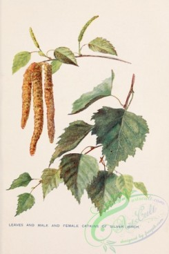 trees-00837 - Silver Birch leaves and male and female Catkins [1745x2618]