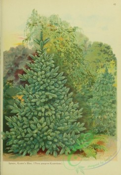 trees-00888 - Koster's Blue Spruce, picea pungens kosteriana [1998x2877]