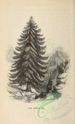trees-00957 - black-and-white Spruce Fir