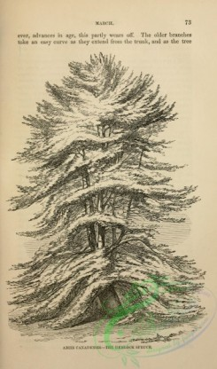 trees-00982 - black-and-white Hemlock Spruce, abies canadensis