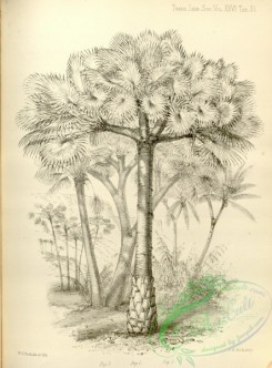trees-00996 - black-and-white borassus flabelliformis, Cocoa-nut Palm, cocos nucifera
