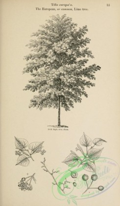 trees-01497 - black-and-white 015-European or Common Lime tree, tilia europaea