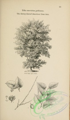 trees-01506 - black-and-white 024-Downy-leaved American Lime tree, tilia americana pubescens