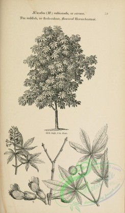 trees-01527 - black-and-white 045-Reddish or flesh-colour flowered Horsechestnut, aesculus rubicunda or carnea