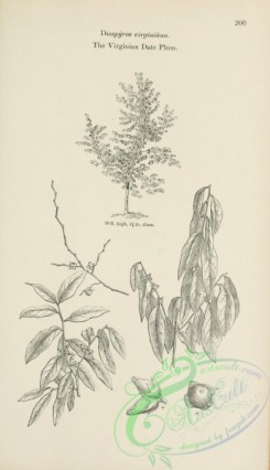 trees-01674 - black-and-white 092-Virginian Date Plum, diospyros virginiana