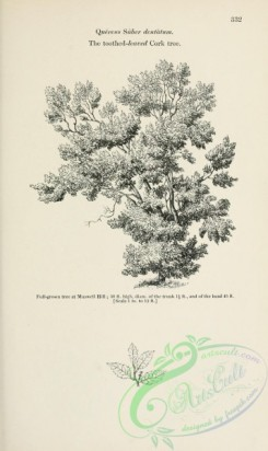 trees-01792 - black-and-white 020-Toothed-leaved Cork tree, quercus suber dentatum