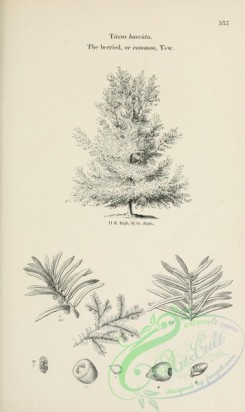 trees-01814 - black-and-white 042-Berried or Common Yew, taxus baccata
