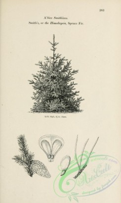 trees-01841 - black-and-white 069-Smith's or Himalayan Spruce Fir, abies smithiana