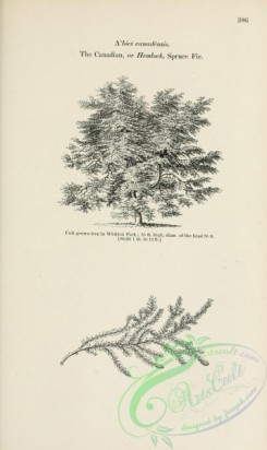 trees-01844 - black-and-white 072-Canadian or Hemlock Spruce Fir, abies canadensis