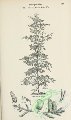trees-01846 - black-and-white 074-Comb-like-leaved Silver Fir, picea pectinata